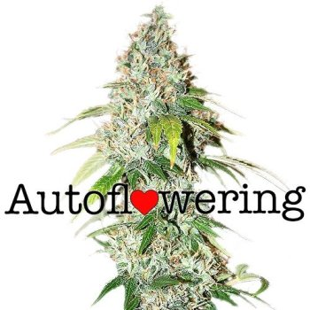OG Kush Autoflower