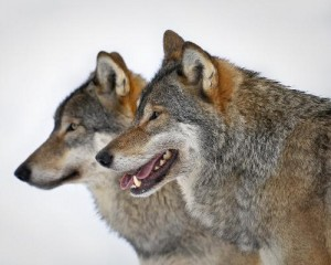 wolves_0