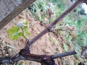 impact du changement climatique sur la fréquence de gel de la vigne