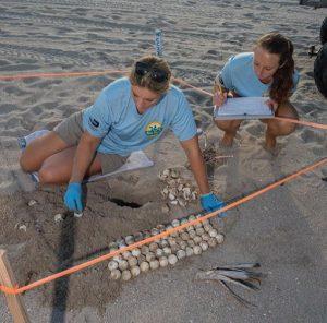 Turtle staff documenting new sea turtle nest 300x296 - El proyecto de Fundación de Parques de Miami Dade  recibe fondos del Programa de Subsidios para las Tortugas Marinas de la Florida
