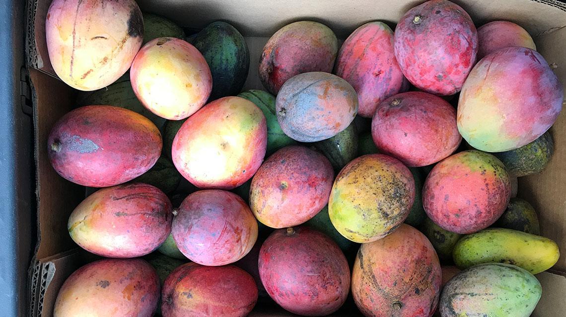 Variety of Mangos. South BeachMangoFestival