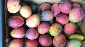 Mango Festival. Picture of dozens of mangos