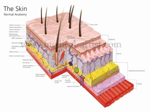 Integumentary System  PPS @ CAL