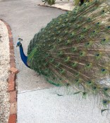 Peacock_from_the_Side