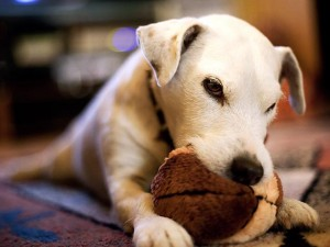 139563973-strong-dog-chewing-632x475