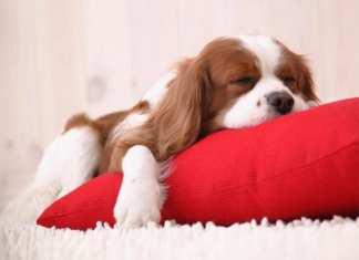 Saiba quais são os melhores calmantes naturais para cachorros