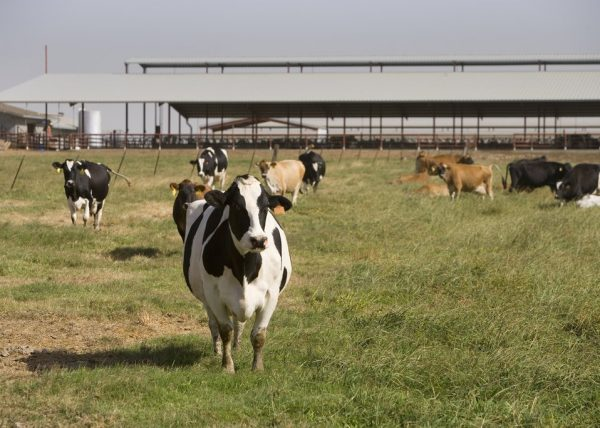 Dairy cows are shown in the pasture. | Photo credit: PublicDomainFiles.com