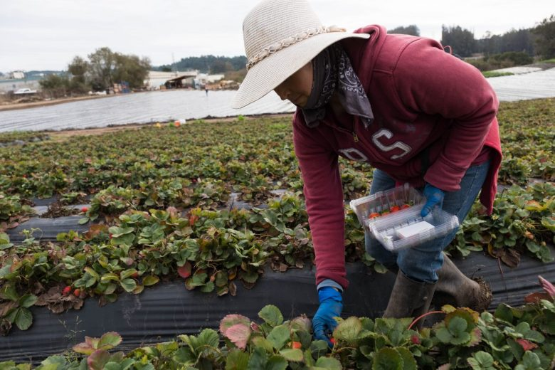 A worker picks strawberries on Bertha Magaña's farm. Photo by Andrew Nixon, Capital Public Radio