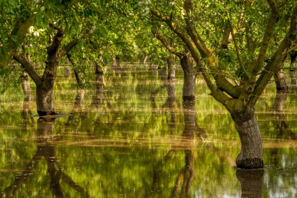 Ripening almonds in an orchard in the Central Valley of California get flooded by irrigation water.