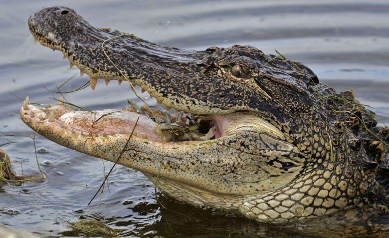 california legislature, last week of session, alligator imports