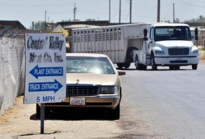 A truck pulling a livestock trailer leaves Central Valley Meat Co. in Hanford in a 2012 file photo. The meat processing company has had at least 183 COVID-19 infections among employees. Photo by Eric Zamora, The Fresno Bee