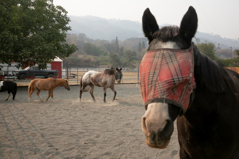 Horses and ponies on Taylor Craig's farm outside of Vacaville on Oct. 2, 2020. Craig said there was no time to evacuate their animals including goats, chickens and donkeys, during the LNU Lightening Complex Fire due to not receiving an evacuation warning. Photo by Anne Wernikoff for CalMatters