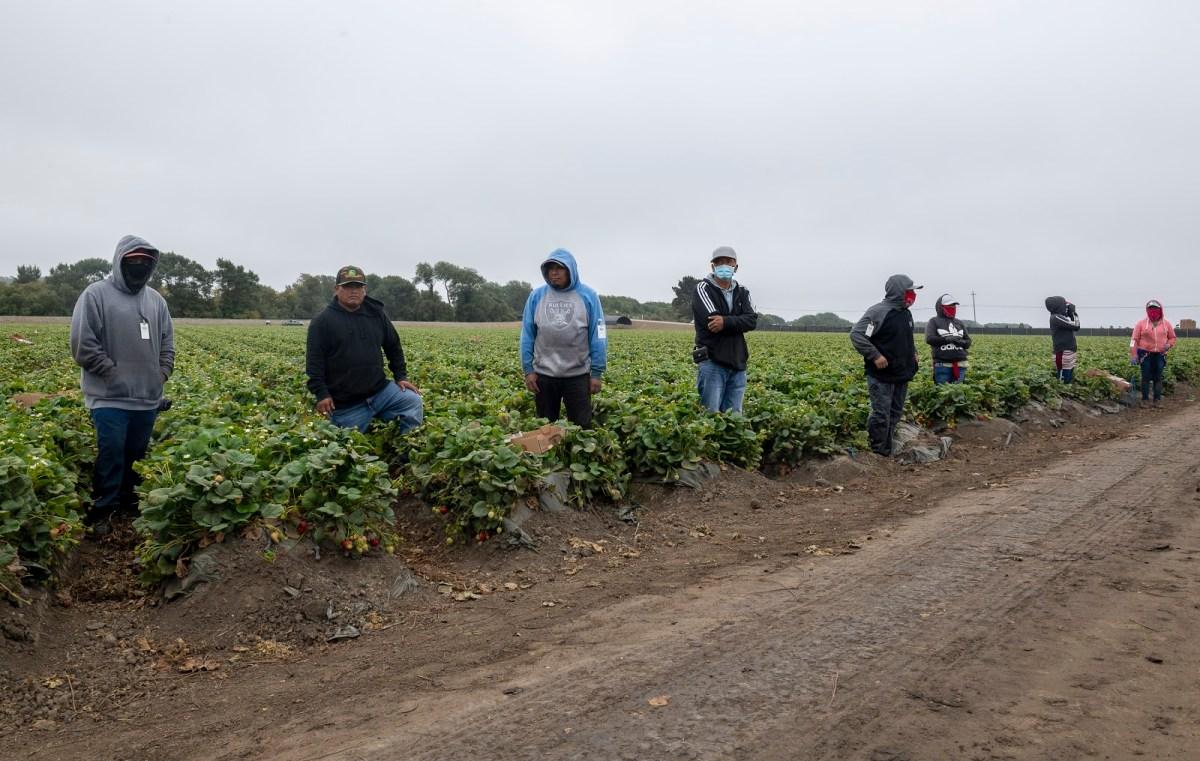 Ocho agricultores de fresas se mantienen separados unos de los otros antes de su almuerzo en Watsonville, Calif., el miércoles 29 de julio de 2020. David Rodriguez, The Salinas Californian