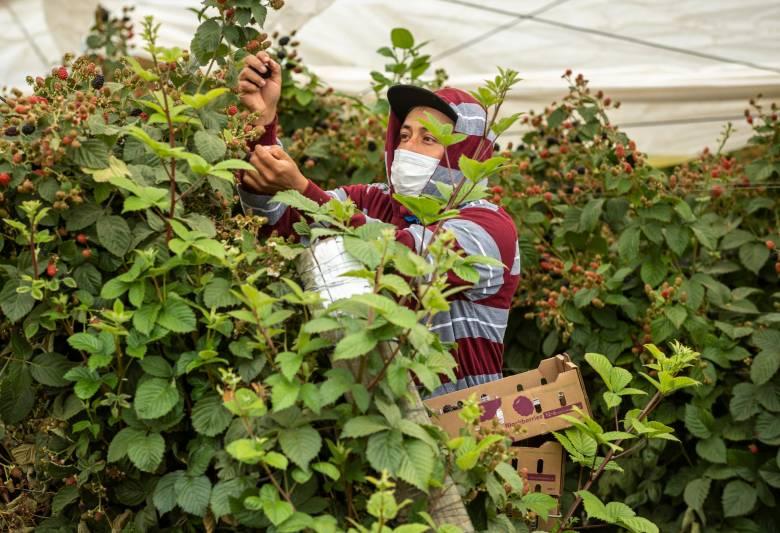 A farmworker wearing a face mask picks raspberries in Watsonville. Photo by David Rodriguez, The Salinas Californian