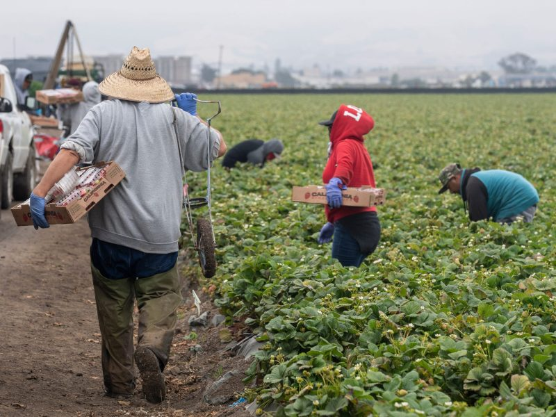 A farmworker holds a box of strawberries with his left hand and a one wheel cart with his right as he walks to get another empty box in Watsonville, on Wednesday, July 29, 2020. Photo by David Rodriguez, The Salinas Californian