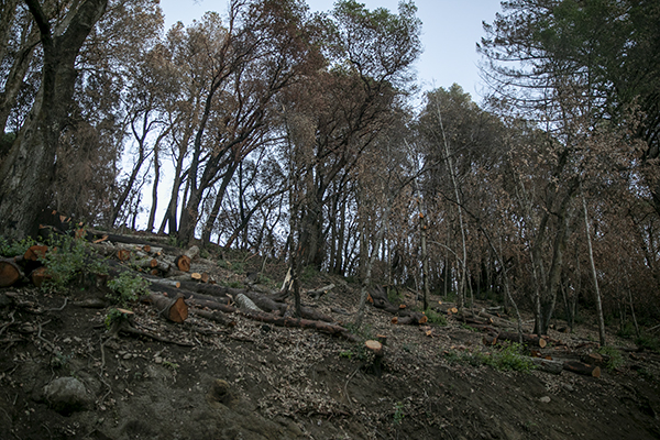 A hillside along Empire Grade in Bonnie Doon that has been heavily cut down on Dec. 15, 2020. Locals worry that the tree clearing will lead to erosion in the future. Photo by Anne Wernikoff for CalMatters