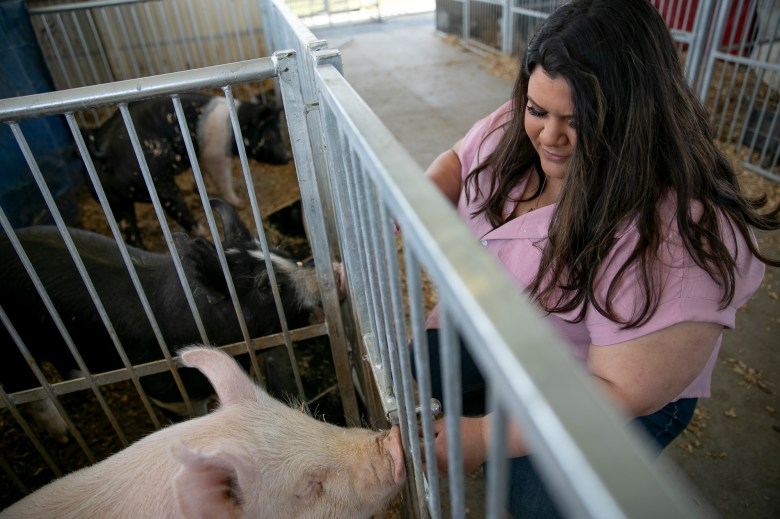 Chico State third year Isabel Lopez plays with pigs at Rio Linda High School where she raised pigs as a teenager. The agriculture science and education major hopes to one day start her own agriculture education program but has struggled to adjust to online learning due to the pandemic. Photo by Anne Wernikoff, CalMatters