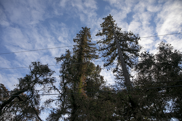 Redwood trees trimmed by PG&E in order to protect the power lines in Bonny Doon on Dec. 15, 2020. Photo by Anne Wernikoff for CalMatters