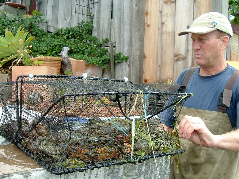 Ted Grosholz looks at a trap just pulled out of the water holding green crabs. Photo courtesy of Ted Grosholz