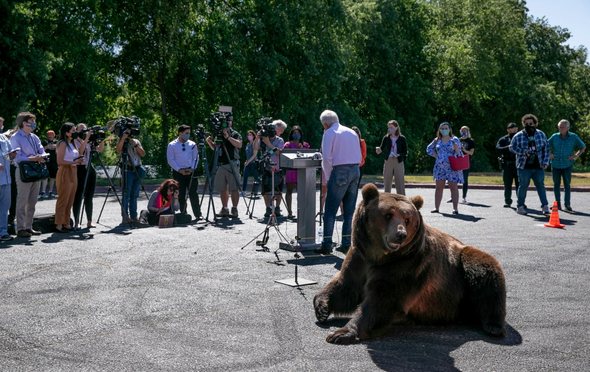 Nine-year-old Tag, a 1,000 lb Kodiak bear, lays in the sunshine while recall candidate John Cox speaks to the press at a campaign event at Miller Regional Park in Sacramento on May 4, 2021. Photo by Anne Wernikoff, CalMatters