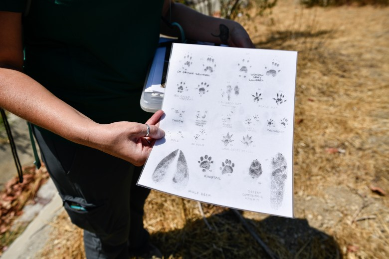 Michelle Mariscal, an ecologist for the Puente Hills Habitat Preservation Authority, holds a sheet that assists in identifying wildlife using the Harbor Boulevard Wildlife Underpass in La Habra Heights, on June 30, 2021. Photo by Pablo Unzueta for CalMatters
