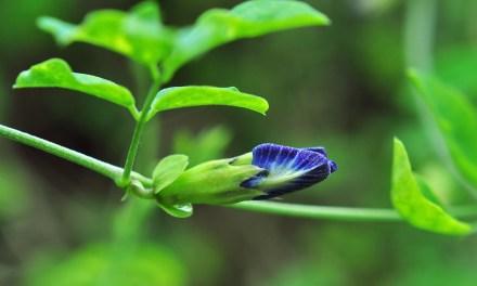 Clitoria Ternatea : pourquoi l'utiliser en cosmétique