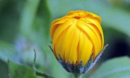 Le calendula : comment utiliser les plantes de votre jardin #2
