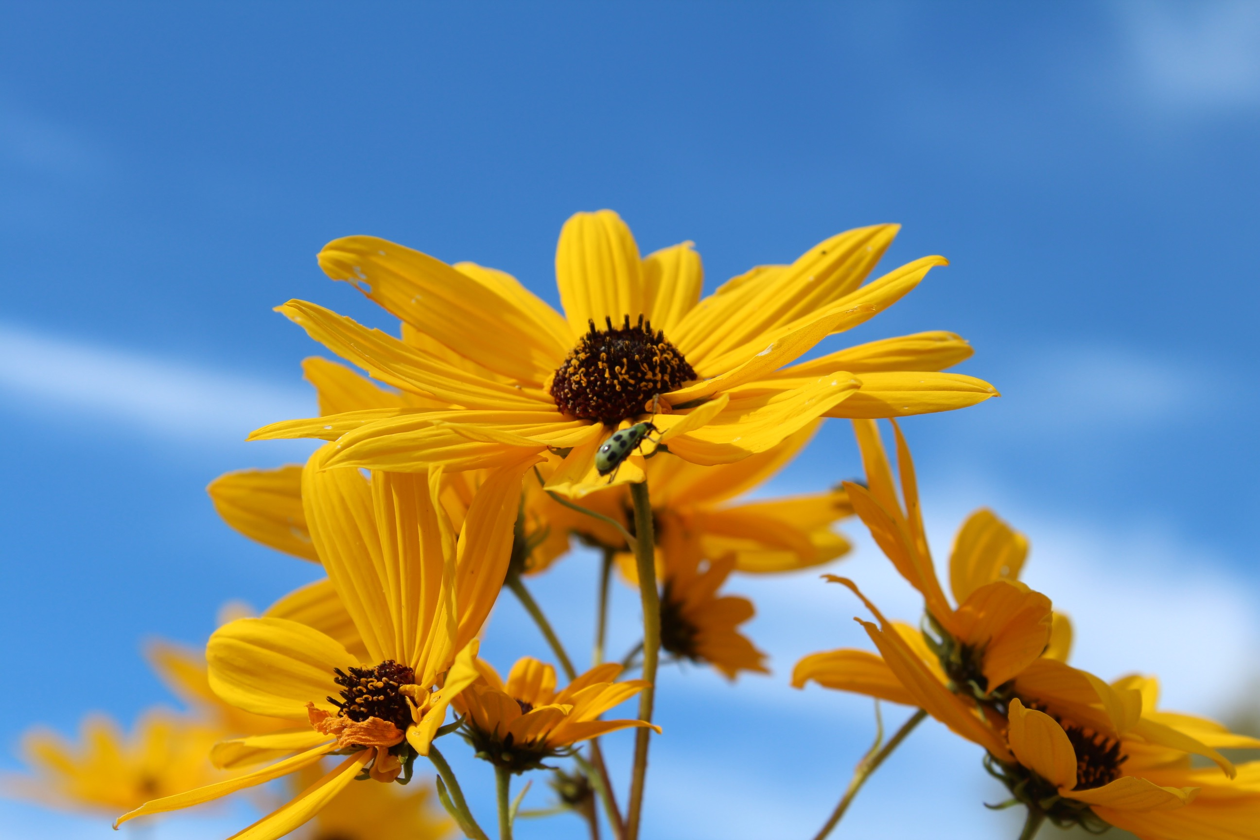 Image shows bright yellow sunflowers against a blue sky