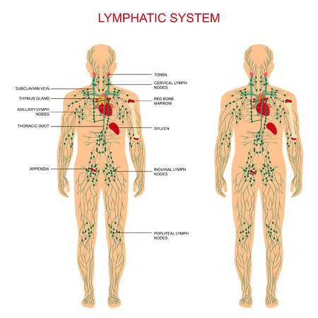 Diagram of the lymph circulation system showing vessels, nodes, and organs, from blog post by CALMERme.com