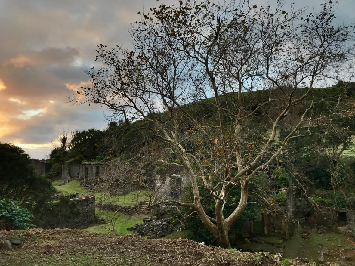 Poplar at sunset