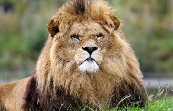 Animal de poder: León