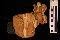 Segisaurus halli