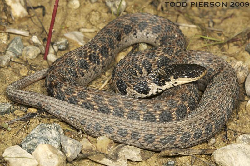 Clonophis Kirtlandii The Reptile Database
