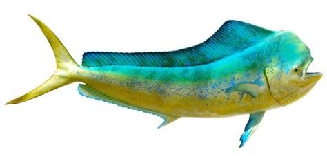 BullDolphin