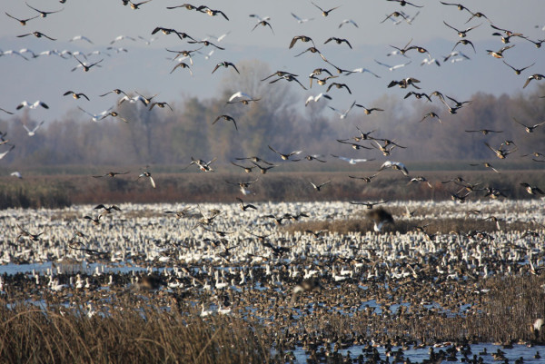 State sets waterfowl regulations for 2018 19 for California fish and game regulations