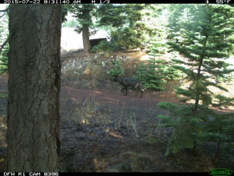 Possible evidence of a wolf roaming in Siskiyou County in Northern California. (CDFW)