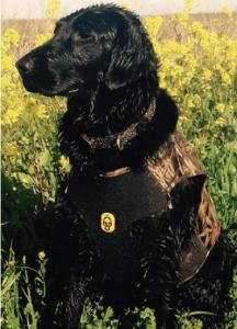 Black golden retriever in camo neoprene vest waiting for ducks to fall.