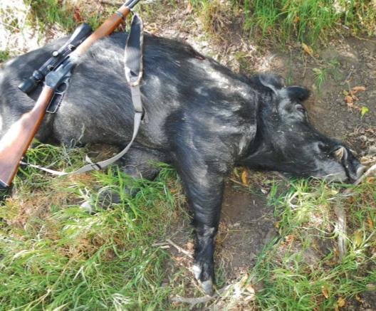 Dead wild pig with hunting rifle resting on it