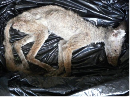 If untreated mange can be fatal for animals like kit foxes. Mange can Photo by CSU Stanislaus Endangered Species Recovery Program