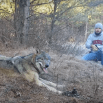 Watch how this man set this Enormous Wolf Free