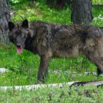 Reward Offered For Wolf Killed In Southern Oregon