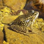CDFW Seeking Input About Possibly Endangered Frog