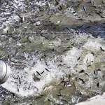 180,000 Salmon Released In Sacramento River