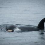Feds Propose Plan To Protect West Coast Orca Habitat