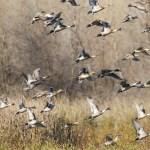 Duck Season Extended To Jan. 31 In Multiple Zones