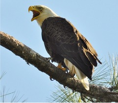Bald Eagle perched on branch.