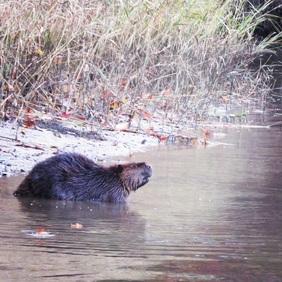 Beaver in creek.