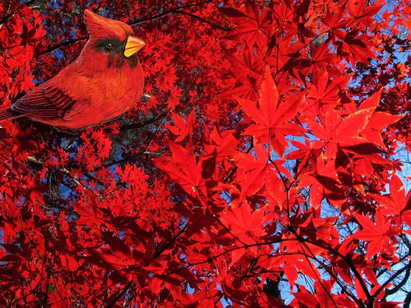 Cardinal, Pine Lake, GA ©Calvin Burgamy