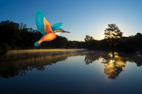 Kingfisher over Pine Lake, GA ©Calvin Burgamy