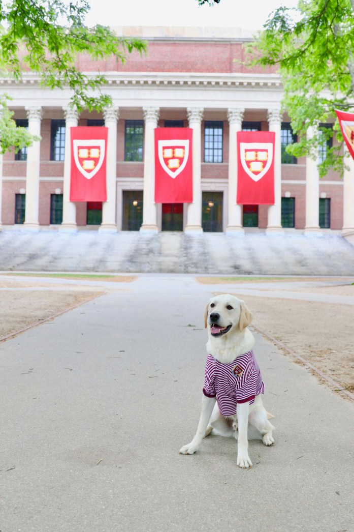 dog wearing a harvard polo sitting in front of the harvard library